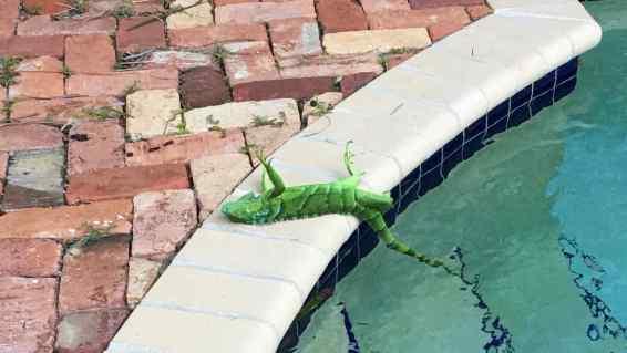 iguana-congelada-por-frio-en-florida.jpg